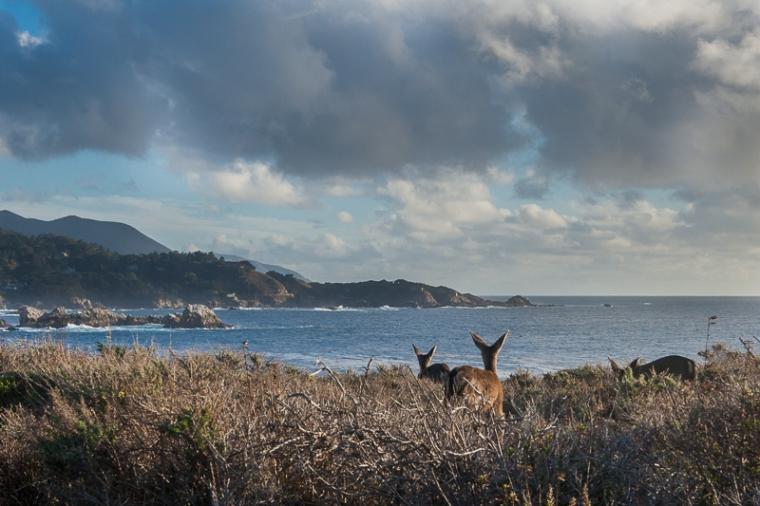 point-lobos-deer-julie-boyd-photo