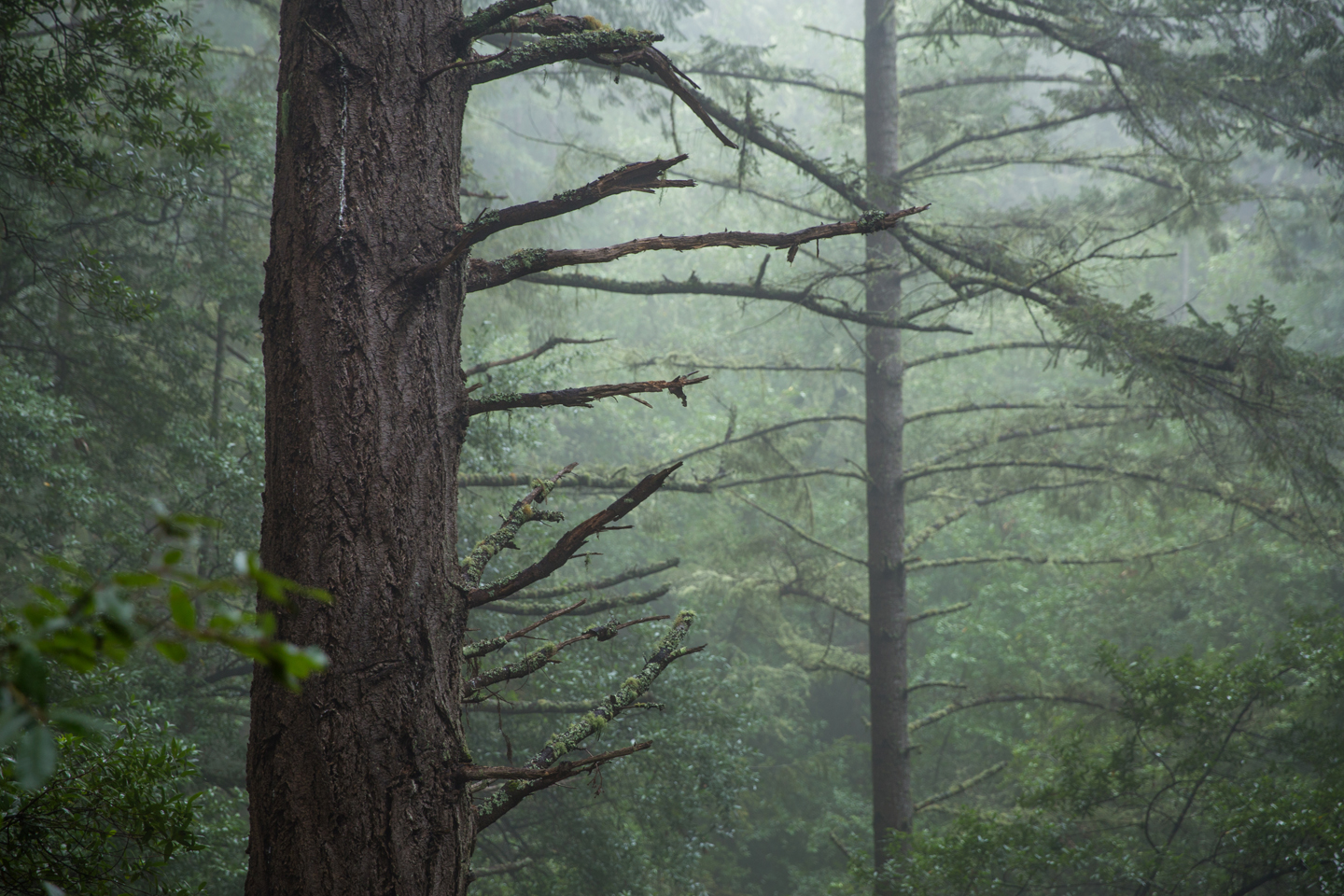 muir-woods-trees-fog