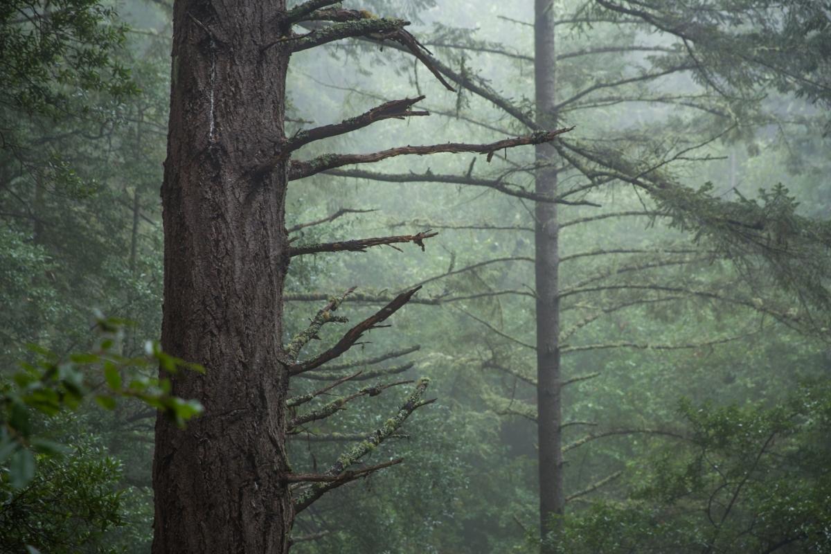 muir-woods-trees-fog