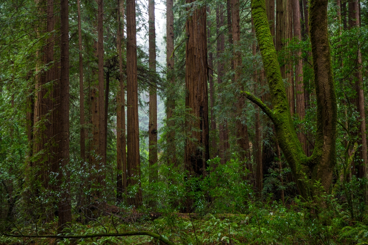 muir-woods-trees-forest