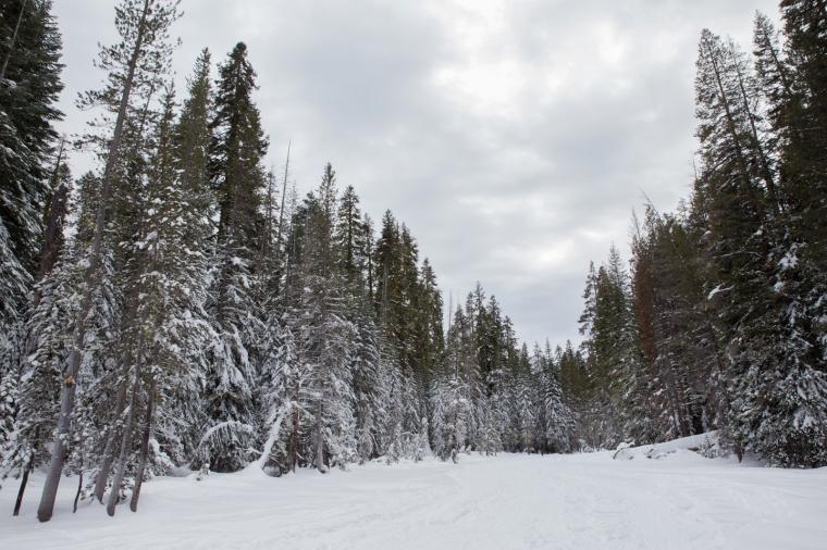 yosemite-dewey-point-snowshoe-trail-trees