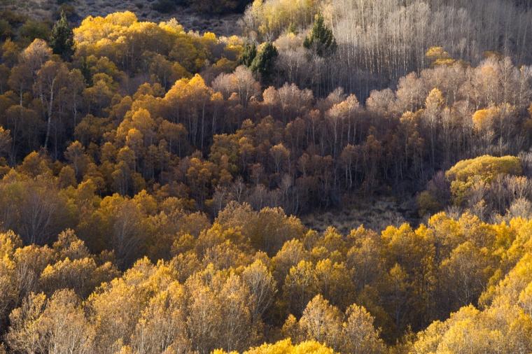 eastern-sierras-fall-colors-aspens-detail