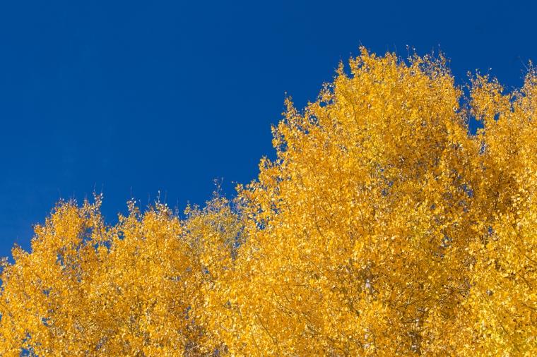 fall-colors-golden-aspen-leaves