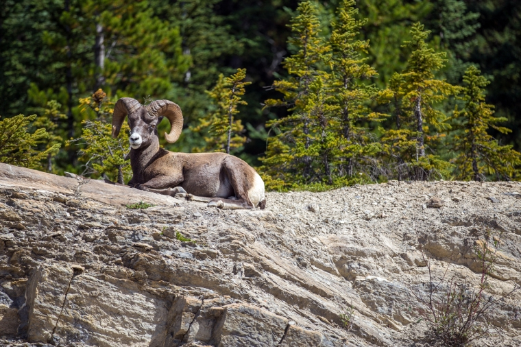 icefields-parkway-bighorn-sheep