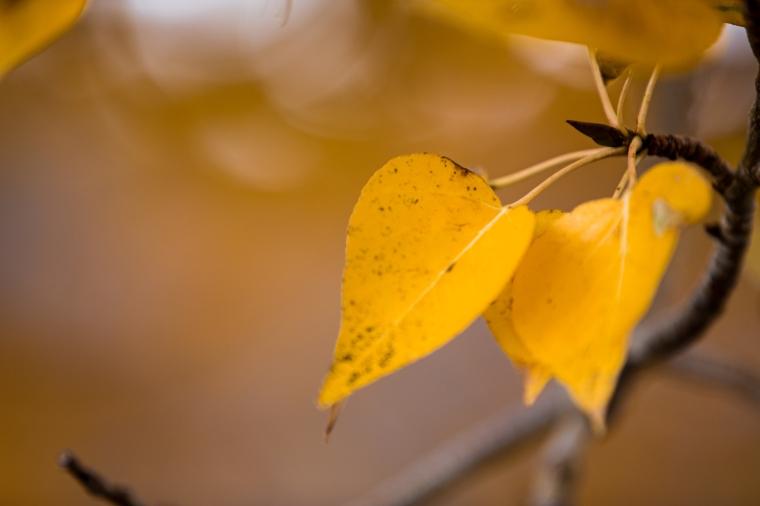 quaking-aspen-leaf-sierras-1