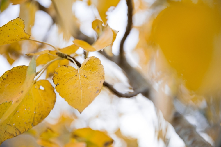 quaking-aspen-leaf-sierras-3